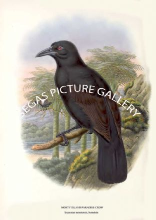 MORTY ISLAND PARADISE-CROW - lycocorax morotensis, bernstein